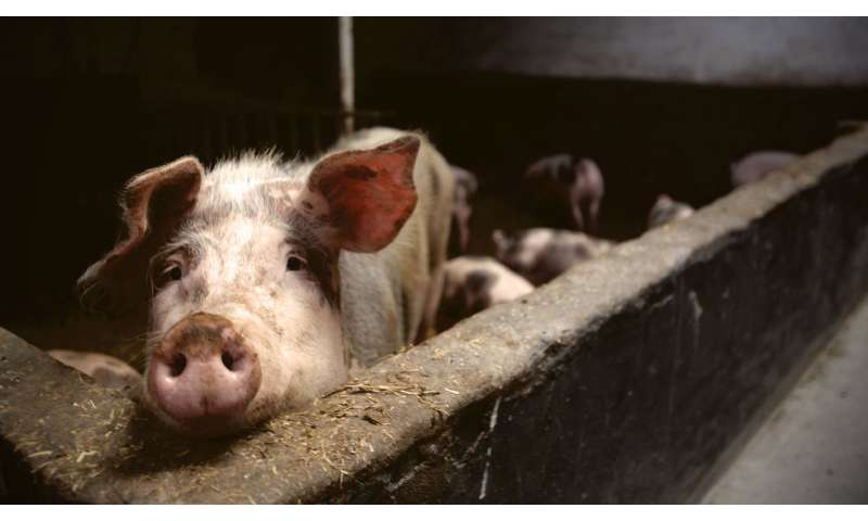 China under threat from haemorrhagic African swine fever