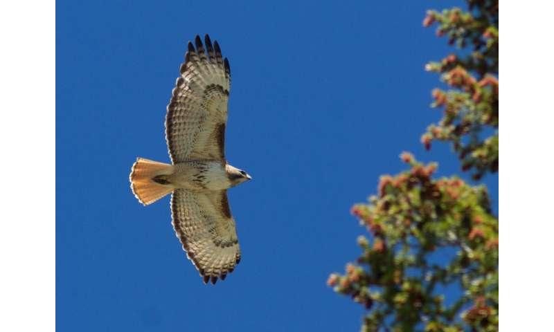 Combined count data reveals shifts in hawks' migratory behavior