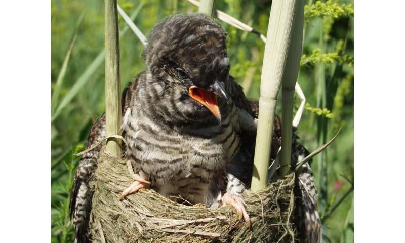 Common Cuckoos can distinguish the calls of their neighbors from a stranger's