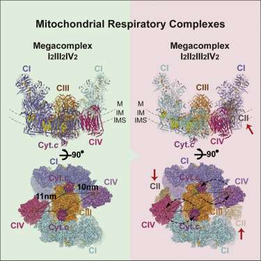 Complete structure of mitochondrial respiratory supercomplex decoded