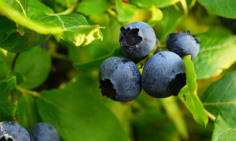 Compound found in berries and red wine can rejuvenate cells, suggests new study