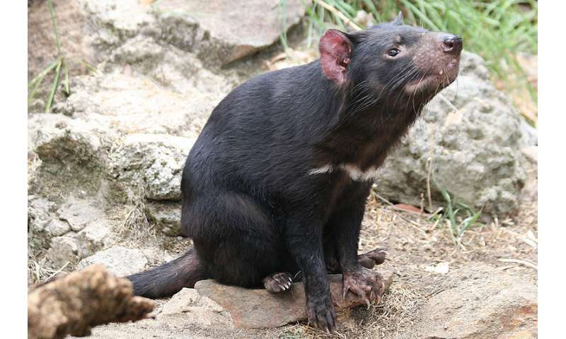 Cooling climate drove evolution of the Tasmanian Devil and its relatives