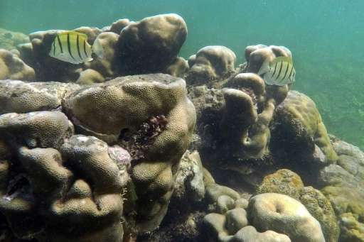 Corals are extremely sensitive to temperature change with rapidly warming waters causing bleaching