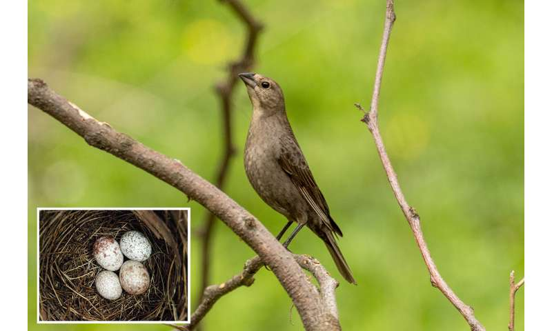 Cowbird moms choosy when selecting foster parents for their young