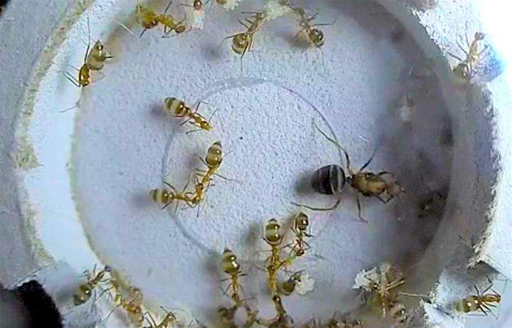 Crazy for ant eggs