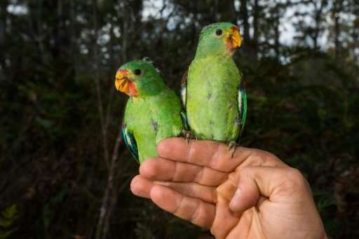 """Critically endangered Swift Parrots are under threat from squirrel-like """"sugar gliders"""" in a battle for space in Austr"""