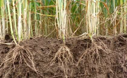 Crop gene discovery gets to the root of food security