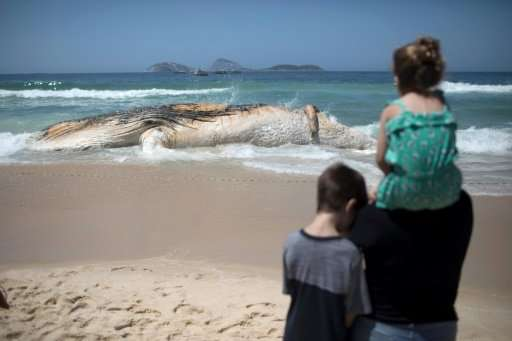 Curious onlookers approached a cordon to take photographs of the humpback, whose 14-meter-long carcass (45 feet) gave off a putr
