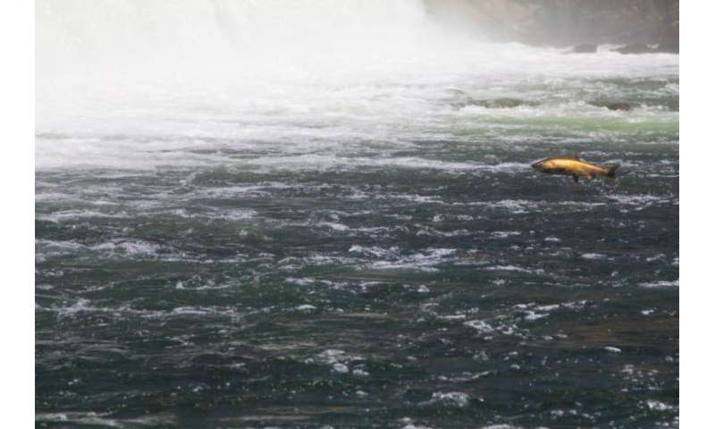 Dams and other barriers to salmon spawning grounds create challenges for fisheries managers