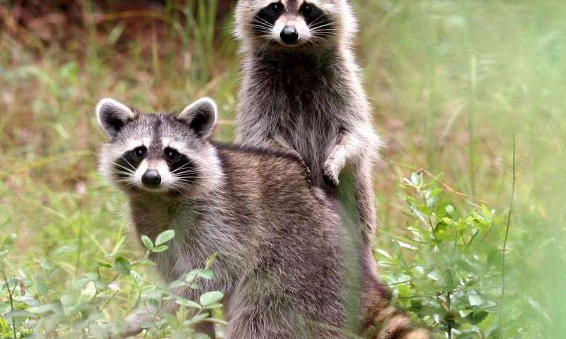 Deadly raccoon roundworm can infect s without symptoms ... on retirement home, websites for iowa modular home, sheetrock installation home,