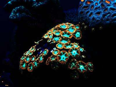 Deep water corals glow in the dark to survive