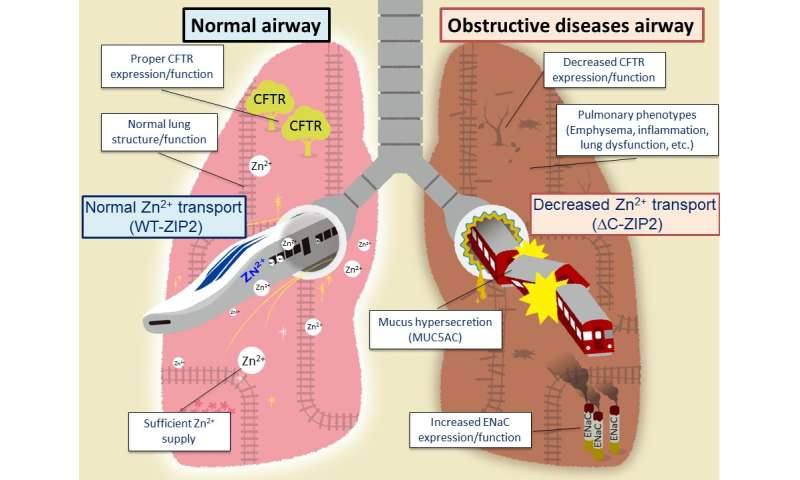 Defect in zinc supply mechanism affects pathology of intractable pulmonary diseases