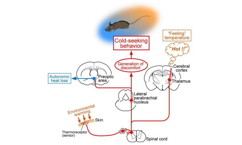 Different Sensory Pathways Engaged in Feeling and Responding to External Temperature