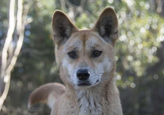 Dingoes reshape the landscape