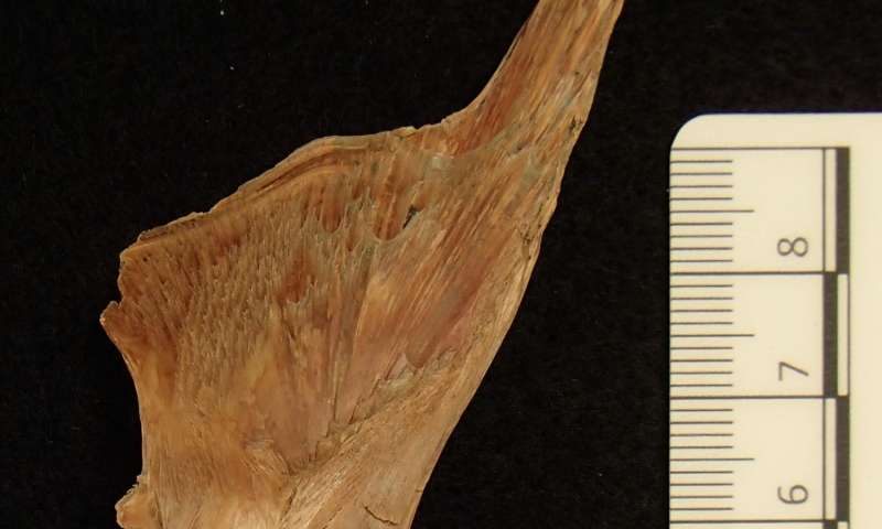 DNA from Viking cod bones suggests 1,000-year history of European fish trade