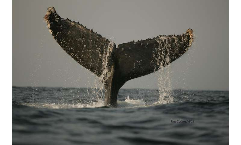 DNA study of southern humpback finds calving ground loyalty drives population differences