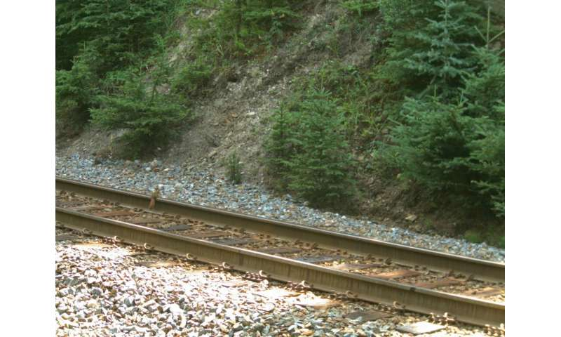 Do squirrels teach bears to cross the railroad? Grizzlies dig squirrel middens for grains