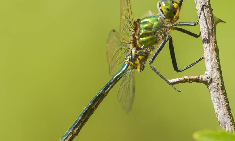 Dragonfly brains predict the path of their prey