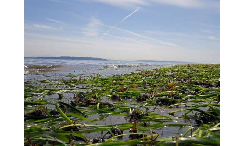 Eelgrass in Puget Sound is stable overall, but some local beaches suffering