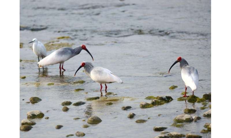 Endangered ibises benefit from joining egret flocks