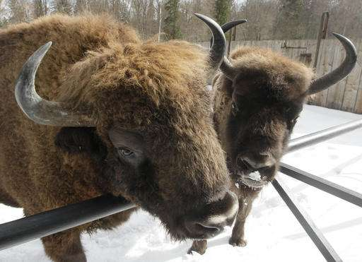 Environmentalists protest hunting bison plan in Poland