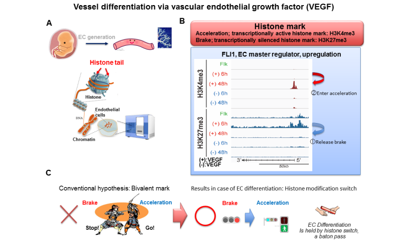 Epigenetic program leading to vessel differentiation