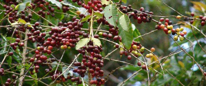Even short-duration heat waves could lead to failure of coffee crops