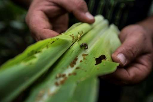 Fall armyworms are native to the Americas and were first spotted in Nigeria and Togo last year, though they have already caused