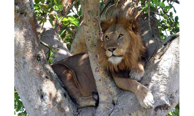 Famous tree-climbing lions of Uganda roaming farther as prey animals decrease