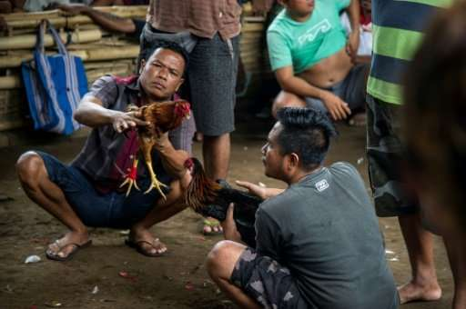 Far off the Indonesian resort island's tourist trail, the heavily-tattooed men gather at a clandestine site where birds battle e