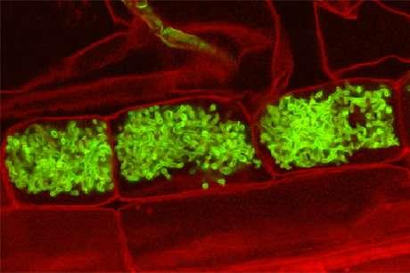 Feeding fat to fungi: Evidence for lipid transfer in arbuscular mycorrhiza