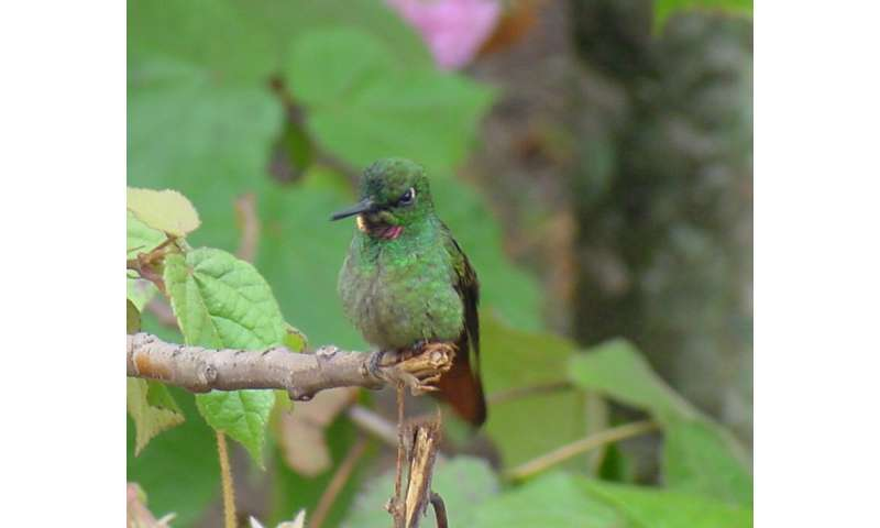 Feeding strategies in competing hummingbird species observed in a small area in Brazil
