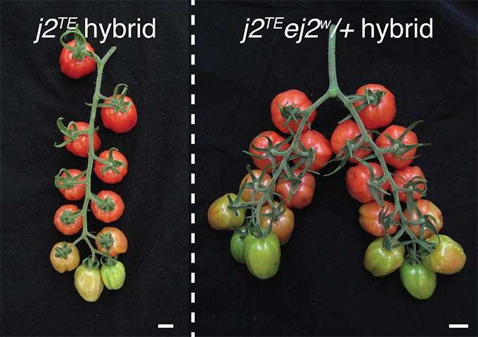 Fine-tuning 'dosage' of mutant genes unleashes long-trapped yield potential in tomato plants