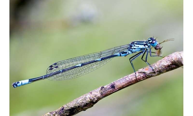 Finnish researchers discover what is on the menu for dragonflies