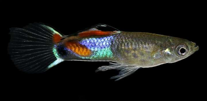 Fish provide insight into the evolution of the immune system