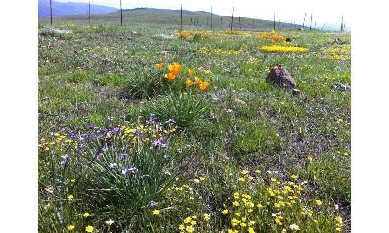 Flowering times shift with loss of species from a grassland ecosystem