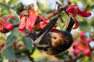 Flying foxes have been on the decline for decades, and there's no hope in sight