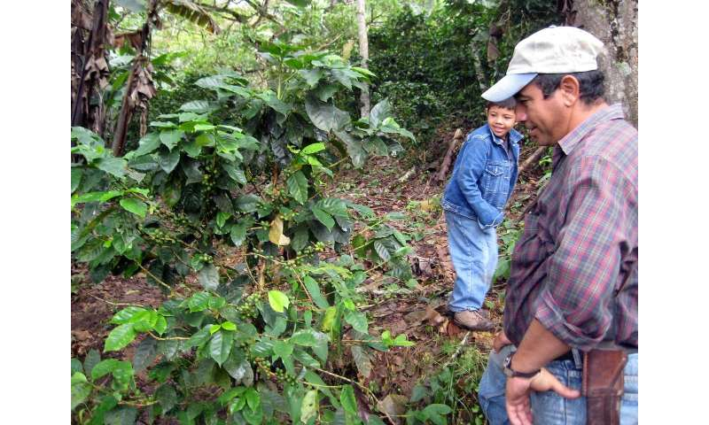 Forest plantations are a potent blend for coffee production