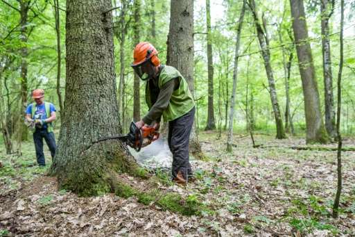 Forest workers cutting down a spruce in Poland's Bialowieza Forest, a UNESCO World Heritage site that is Europe's last primeval