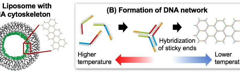 Formation of artificial cells with a skeletal support reinforcement to withstand application realized