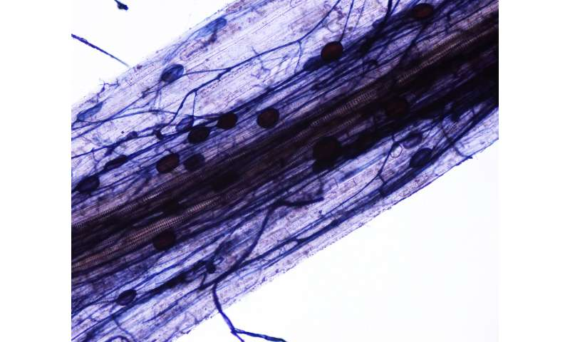 Fungal microbes as biofertilizers in agriculture and gardening – is the reward greater than the risk?
