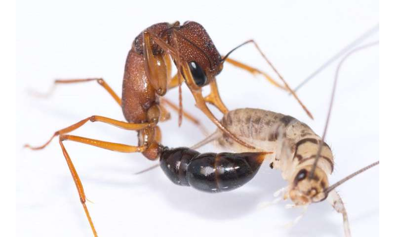 Gene-editing-induced changes in ant social communication