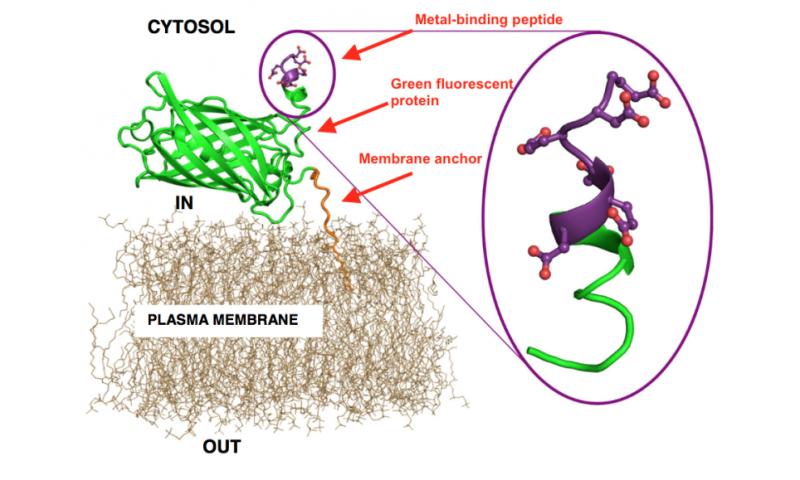 Genetically engineered yeast soak up heavy metal pollution