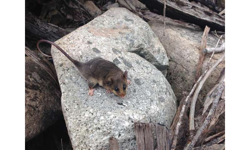 Genetic rescue boosts recovery of Australia's endangered mountain pygmy possums