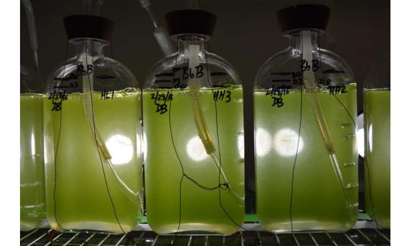 Genome sequence of fuel-producing alga announced