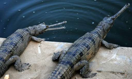 Gharials are close to extinction