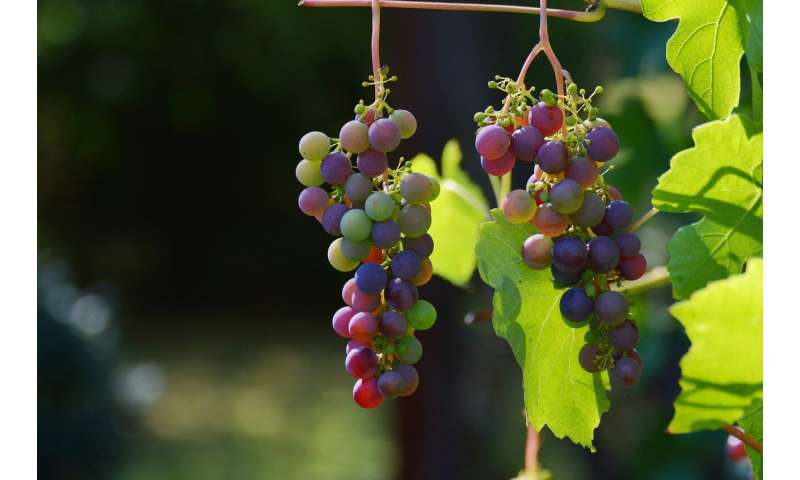 Research explores how grape pests sniff out berries