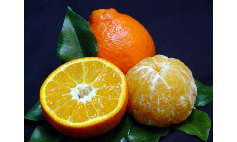 Greening-resistant 'Sugar Belle' mandarin orange found to be high in volatiles and beneficial phenolic compounds