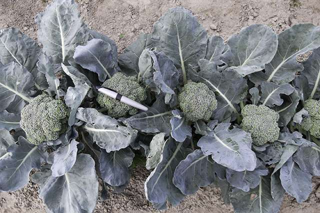 Heat-tolerant broccoli for the future