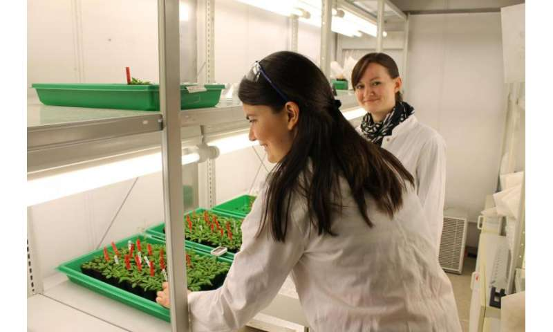 Heightened risk in rice? Researchers discover the toxicity of thioarsenates for plants
